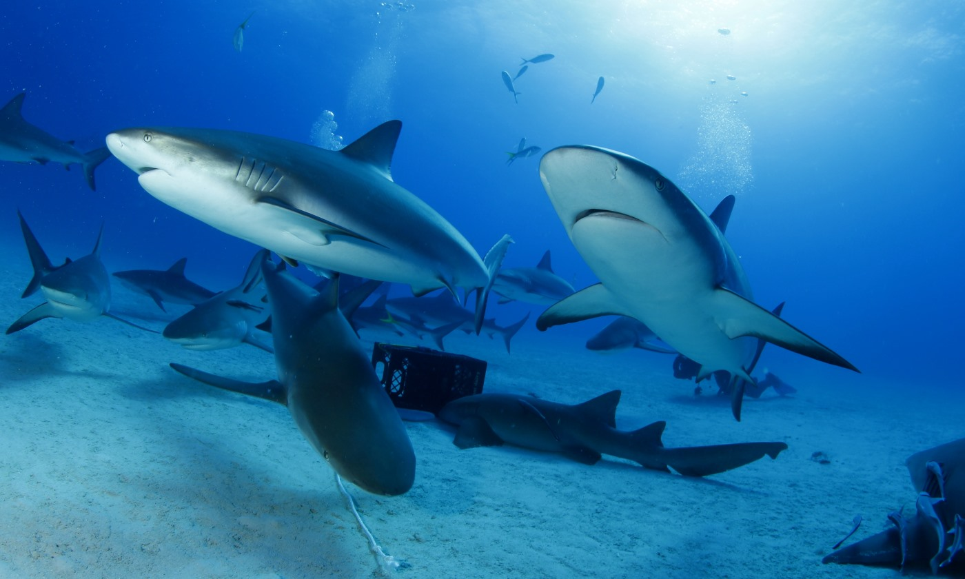 reef shark dive