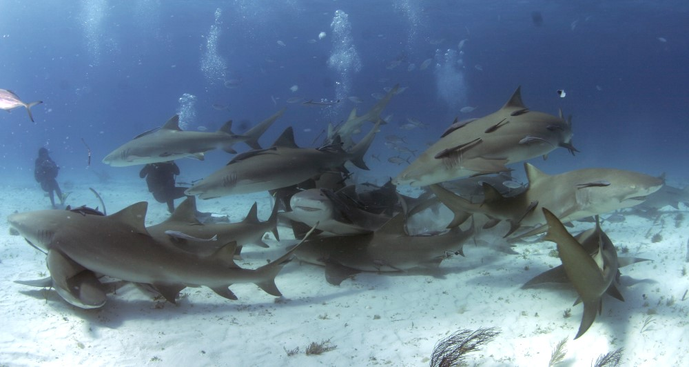 Lemon Shark Diving