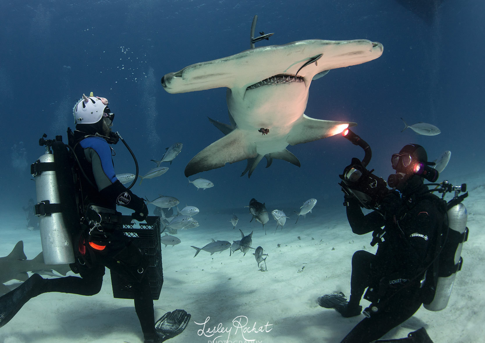 diving with hammerhead