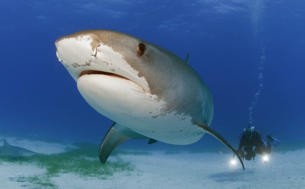 Tiger shark diving