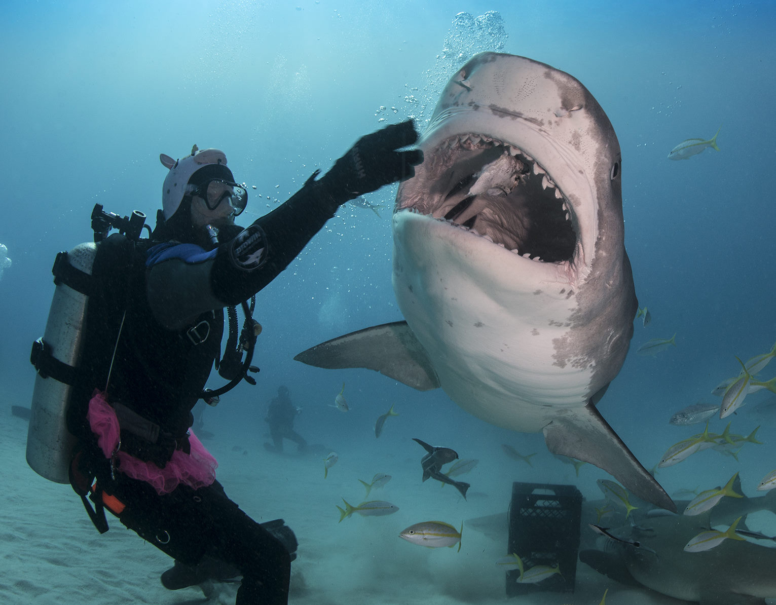 diving with tiger sharks